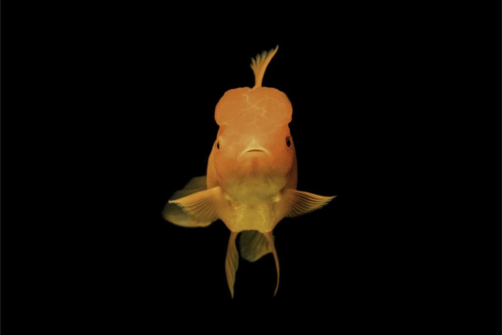 Goldfisch als Symbolbild für die Aufmerksamkeitsspanne